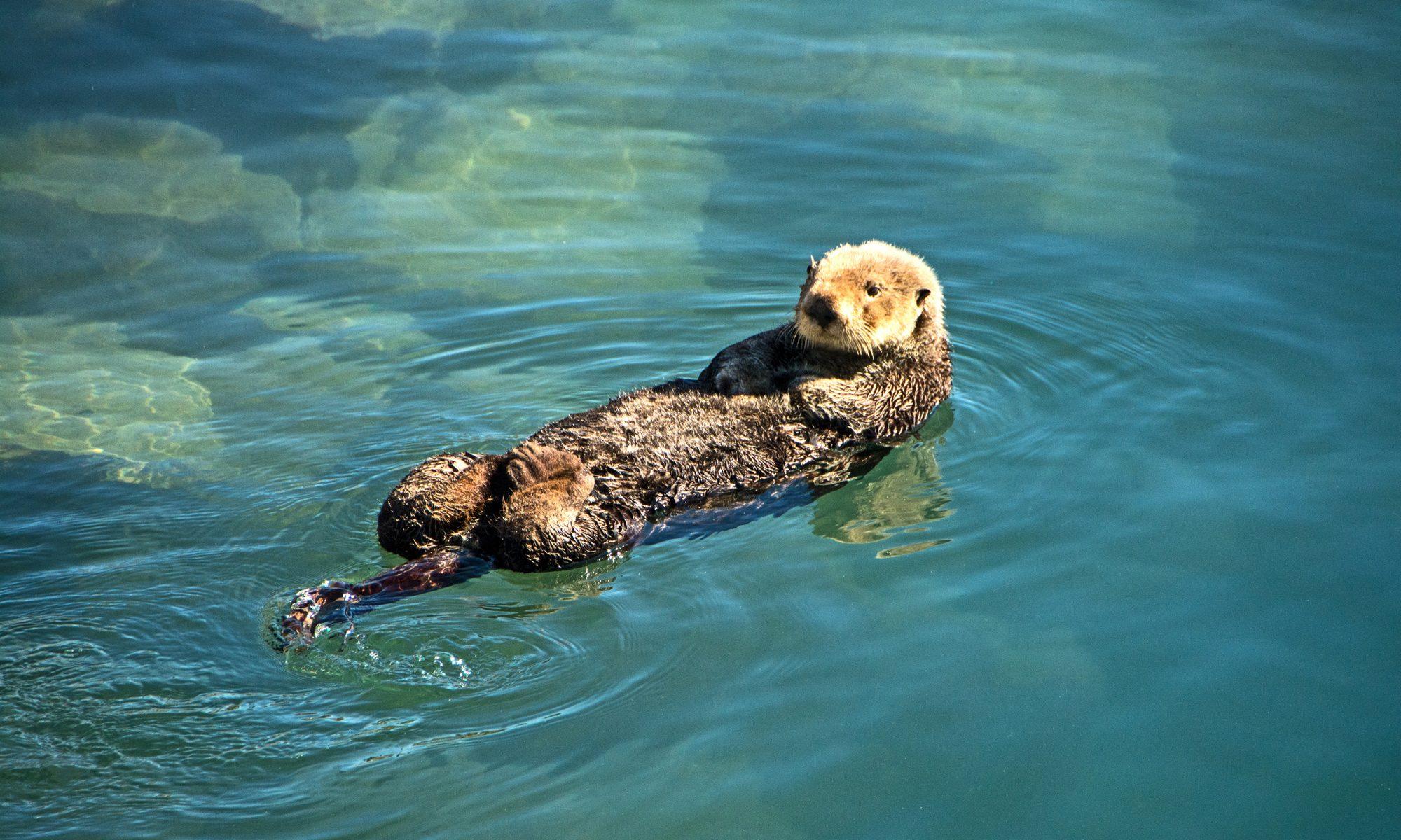 Sea otters swim in the Morro Bay harbor